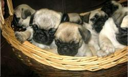 This is Pug Puppies and as you can see,they do not like to miss any meals!they are very friendly boy and girl with a laid back personality.They spends they days playing with their stuffed animals and strutting around the house.They have many AKC Champions