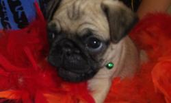 Stop right there! You have found your new baby boy. Skipper is as adorable as a pug puppy can be. He has the cutest face to get your attention with. He is always such a happy little boy. He will be sure to shower you with his puppy love and kisses every