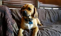 18 month Puggle . Very Sweet & Friendly. Great with other dogs . Looking for a Stable & Loving Home ! If This Is You .......Call Ray at 913-544-9220 .