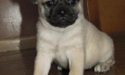 Female had first shots,wormed and dew claws removed Mom is a pomeranian Dad Pug ready for a new home.