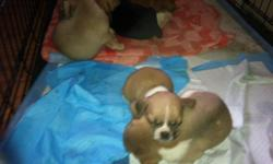 Super cute 6 weeks old. First set of shots. Black, tan and white,and fawn Male and female