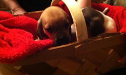 6 week puggle puppies fawn and black mom is a beagle and dad is the pug cute and adorable s/w (901)438-7694