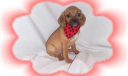 """This baby girl is adorable. She has a sweet and gentle personality. She is a Pug and a Beagle mix-""""Puggle"""". She would love a family with kids. She is micro chipped.She comes with her first series of shots, wormings and a Vet Health Certificate. She also"""