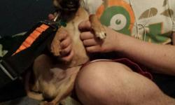 Puggle puppy...11 mo old, good dog, playful, loving.....moving cant take him.