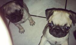 PUGS 2 months old. Come with first shots .Welcome to come see them for your self.