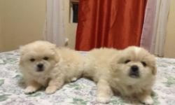 two puppets 6 weeks old..pickiness and mattis...color brown & white..... both male..