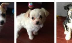 Adorable loving puppies for sale i have 2 females 1 male they'll be 2 months on the 4th they're mix with toy chihuahua and maltese feel free to call if you have any questions