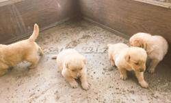 Golden retrievers puppies, going to be 2 months old. Very smart, playful puppies, and loving.They are ready to go to their new homes! Two girl puppies left