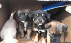 We got 6 adorable puppies for sale we want a good home for them this is our dogs last litter. There is 2 girls one looks like a yorkie and one like a chiwwa and than the boys look Rottweilers and German Shepards. We need them gone if intersted please call
