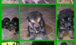 BEAUTIFUL GERMAN SHEPARD, 3 MALE AND1 FEMALE , BORN JULY 8, READY FOR NEW HOUSE VERY GOOD WITH CHILDREN AND OTHER.