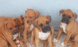 Boxer puppies 4 sale father and mother on site tails are docked..very very intelligent at 9 weeks for mor info please give me a call at 561 732-4715