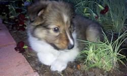 Beautiful 7week old, male,Sheltie Puppies for sale. Puppies will be ready to go to new homes next week! Family raised since birth so puppies are very social, friendly and love to be held and cuddled! They are good with cats, dogs and love