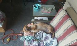 4 month old chiweenie weenie and chiwawa very cute and cuddly loves kids doing great with potty training ver fun puppy not neutered moving and cant bring him text only