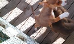 Chihuahua male puppy for sale.