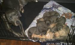 I have 2 litters of pit bull pups with Papers Not ready to leave home till March 10th They will be dewormed and have first shots before leaving mamma's.I will also like to meet the families my pups are going to cause I will not allow my pups to go