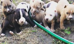 Beautiful Bully Pups - Pure Bred, Papered, Bax Blood Line 6 Males / 3 Females
