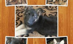 Pure German Sheppards. Born April 11. I have 2 females & 2 males. If interested please contact me at (510) 478-6506.