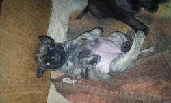 I am saling pure pug puppies registered and with first shots I have 6 puppies 5 females and 1 male I'm saling the females for $700 & male $600 i have 1 brindle puppy it's a female I have 5 pure black puppies 1 is a male the other 4 are female I am taking