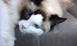 I have a very sweet four year old seal bi color ragdoll that truly lives up to the ragdoll name. He is super fluffy, follows you around, loves belly rubs and being held like a baby. Unfortunately, I can no longer keep him because of my living situation. I