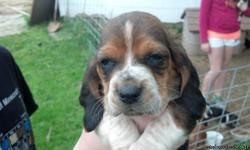 purebred basset hound puppies for sale. Asking $250. Puppies are 8 weeks old. They have been wormed at 2 and four weeks of age. First puppy shots were given last week. Puppies are ready to go. Adorable tri colored.