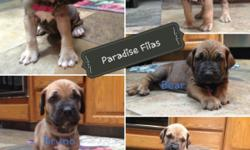 Fila Brasileiro. FCI Registered. Healthy, Beautiful Fawn male & female puppies available. Currently 4.5 weeks old. DOB 6 / 25 / 16. Ready for forever homes only 8 / 20. $ 500 to reserve. EMAIL paradisefilas@gmail.com Visit our FB page