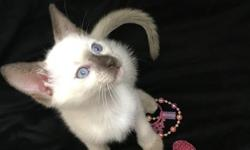Our gorgeous little kitten just turned 8 weeks old and has been litter trained for almost a month. She is very playful, social, and affectionate. She gets excited when you pick her up and just purrs! She loves to run around like crazy and play with our
