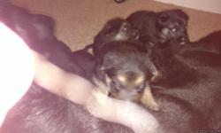 Purebred German Shepherd puppies born July 2nd mother is AKC registered black German Shepherd the father is not registered but pure white German shepherd. Both parents are on site. 4 females 2 males. Puppies available after 8:17. We'll be up to date on