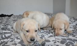 We have 7 male yellow lab puppies ready for adoption from a litter of 9. They will be 8 weeks old and ready to go home on August 25th.  Lacey (Dam) is a yellow lab who is an incredibly playful dog, great with kids, obedient, intense drive, focus, and