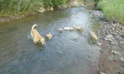 Purebred Lab pups, 8 weeks, yellow, Pueblo, CO 719 948 4800 all shots