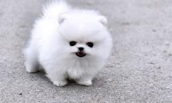 Purebred Pomeranian puppies for sale. Beautiful colors, and will be 4-6 lbs full grown. They come with puppy vaccinations, registration papers, health records, and lifetime breeder support. Spoiled and handled daily, they are well socialized with