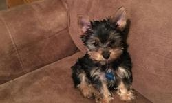 We have a purebred short hair Yorkshire terrier named Chewie. He is papered, microchipped, has a health plan, and will be receiving his last shot on May 23, 2016. He is a very friendly and loving pet and we are looking for a good home preferably a family