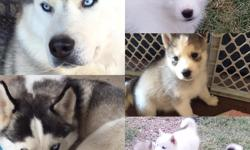3 male 8 week old Siberian Husky Puppies left, already got 1st shots! East side, by lakeside park. Serious calls only, WILL NOT SHIP ANY PUPPIES! No scams, good homes only.