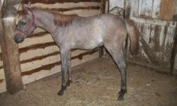 """Beautiful Filly, born April 15, 2014, grey, will mature 15 hands, excellent pedigree with lots of """"Morafic"""". She is weaned, a real sweetheart, has been trailered, picks up feet, leads, very calm disposition. Would make a great 4-h project, or to"""