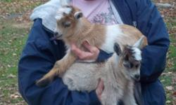 pygmy goat little boys born 10/11/12 available 12/6/12 (8 weeks). i was awaiting deposit on these 2 little boys, but have not heard back from potential buyer. one male is light tan tricolor with blue eyes. the other boy is light carmel with white belly