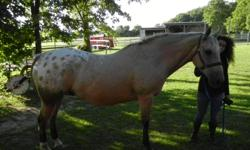 QH Buckskin Gelding with white blanket, 17 yrs. old. Excellent trail horse.