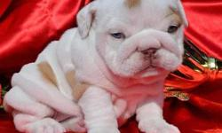 Top Quality House Trained English bulldog Puppies. Call / Text at 770-467-2945. All pups are up-to-date on all age appropriate shots and worming and come with a 1 year Health Guarantee,