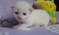 Hello Kitty! Reserving now Ragdoll kittens. I have both females and a male. Can go home in May already altered and vaccinated. Parents tested free of Ragdoll HCM and FeLV/FIV. Social, friendly and super soft with big blue eyes. Hello Kitty is a female