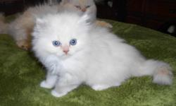 beautiful litter of ragdoll kittens available to for ever loving homes , I have available boys and girls blue pointed and blue mitted. Both parents can be seen, HCM and pkd neg. will leave fully vaccinated wormed and flea prevention given, kitten contract
