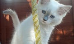 We have 2 TICA registered ragdoll kittens left and ready for their new homes. Up to date on shots, litterbox trained and come with a health guarantee. Born 4/10/14. Summer Sale *  2 tortie females now only $500. Purchase 2 and we offer $100 off
