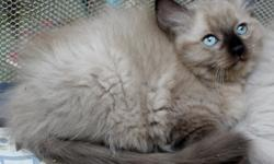 We have 3 eight week old TICA registered mink ragdoll kittens left and ready for their new homes. All females, up to date on shots , litter box trained and come with a health guarantee. One seal colorpoint mink female and 2 blue colorpoint females. Price