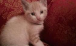 My mom is ragdoll mix with lynx. My dad is lilac point lynx. Snowshoe. Im still gorgeous Adopt me. Ill play all night. N day. Ill try to ea t your fingers n toes n chase any thing that moves. Im 7 weeks old. Dewormed and clean no fleas mites. I get my