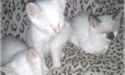 both parents Ragdoll Manx HY-BREDS white with blue eyes / chinchilla markings/extra toes / here are some of the kittens RAGDOLL MANX BOBTAIL EXTRA TOES POLYDACTYL .. they will be ready to go this week.. 1rst. shots, weaned to canned food and