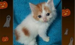 RGDOLL MANX BOBTAIL KITTENS ,NON EXTRA TOES KITTENS ARE $125.00ONE RED ORNAGE N WHITE BOY ,one GIRL  WHITE WITH BLACK SPOTS R POLYDACTYL (RARE EXTRA TOES KITENS ARE $175.00 . , FIRST SHOTS AND WEANED N WORMED LITTER