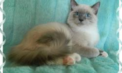Ragdoll Rare Blue Mink Male 1-1/2 year old hes got white Mittens hes TICA registered (papers not included as hes being sold as a neutered pet) The price of $250 includes his Neuter, respritory vaccine, worming. NO DECLAWING,AND INDOOR ONLY HOME, we dont
