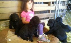 Rare Black Teddy Bear English Golden Doodle Male Puppies ! Low price but every bit as good as the Higher priced! Born April 7th , almost 7 weeks, fully weaned!eating hard food ! Located in Delta,