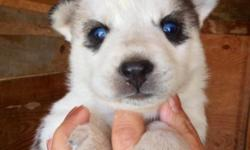 NEW TODAY:-)! GORGEOUS! GORGEOUS! SIBERIAN HUSKY PUPS:-)! VERY RARE! CHAMPAYNE OR SLATE GREY OR SILVER GREY:-D!!! 6 I. LITTER ONLY 3 AVAILABLE ALL CHINA BLUE EYES AWESOME FOREVER COMPANION SURPRISE GIFT FROM YOUR HEART!!! FALL IN LOVE! DEPOSIT HOLDS!!!