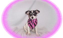 """This baby girl is soooo cute! She is bright, alert and very smart. She is crazy playful and loves to have fun. She is a Rat Terrier and a Chihuahua mix-""""Taco Terrier"""".She comes with her first series of shots, wormings and a Vet Health Certificate. She"""