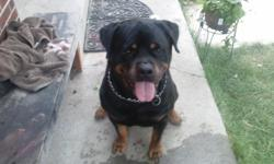 German rottweiler male for stud. He is out of imported parents. Dam is a champion and sire is an international champion. Mother is dragicevica bloodline and fathers sire is the world reknown black turks euro. This is the best looking male german stud in