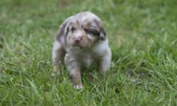 Standard Australian Shepherd. 5 weeks old today. Beautiful Red Merle Female. Blue Eyes. Very Sweet. Up to date on worming, and will be vaccinated at 6 weeks. Tail Docked. Dew claws still intact. Ready for a new home May 29th, 2016.