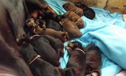 Reg AKC Doberman puppies. I have 1 bl male 1 red male 2 red females and 4 bl females available . They are very well bred , great temperment . Great family or working dogs. Tails and dew claws done, I can have my vet crop ears if you want . They will come